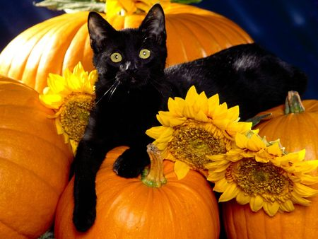 Halloween Black Cats will look very Scary in Party Events